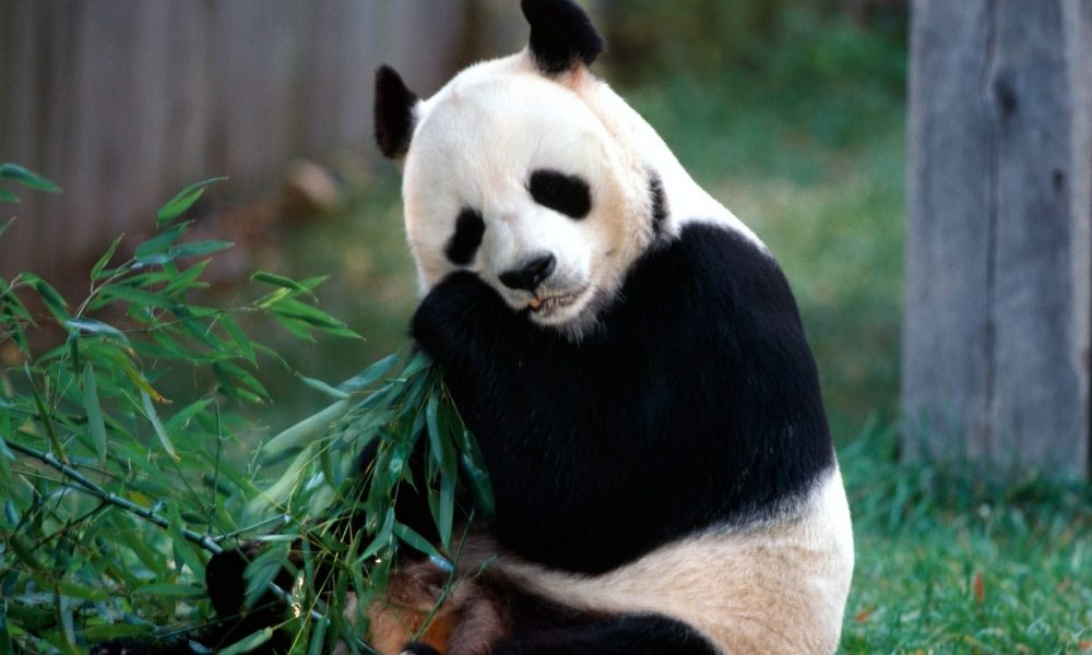 Download Wallpaper Panda Bear HD Animals 13