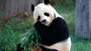 Download Wallpaper Panda Bear HD Animals 4