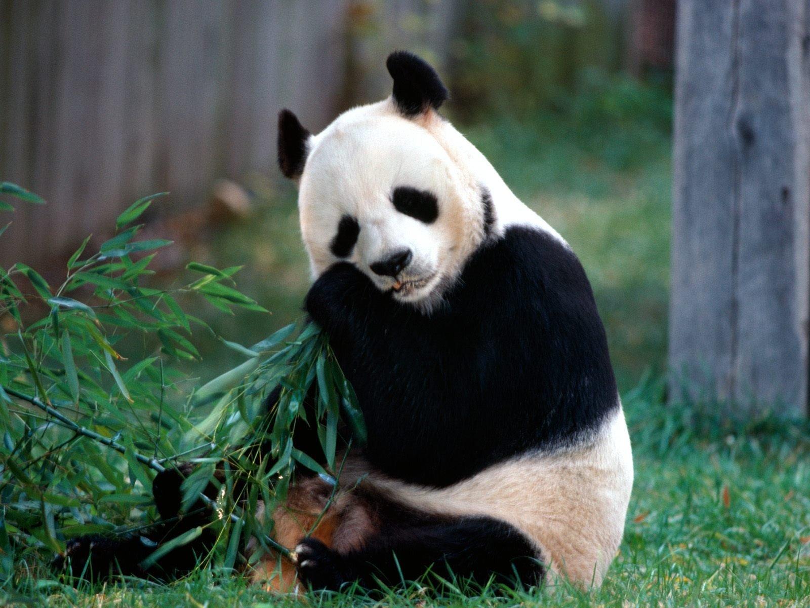 download wallpaper panda bear hd animals | downloadfy